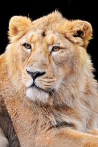 индийский (азиантский) лев