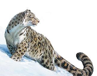 ирбис (снежный барс или снежный леопард)