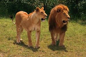 Длина член лва