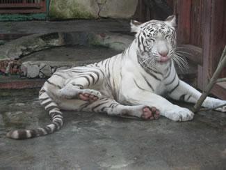 white_tiger