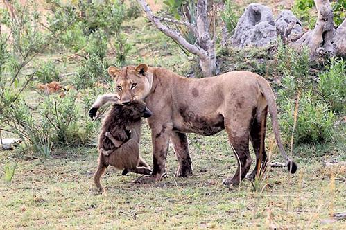 lion_kill