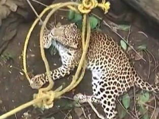 leopard-rope