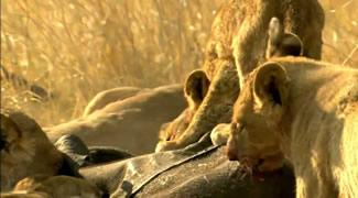 Прайд львов ест еще живого слоненка (видео). Детям не смотреть!