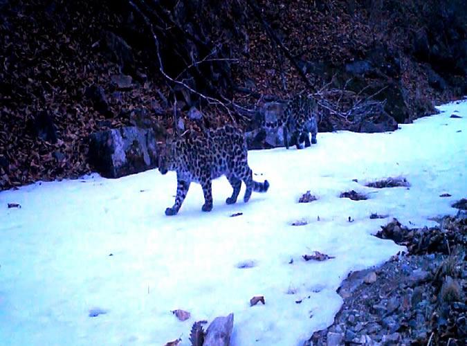 Ученые впервые получили «картинку» распада семьи леопардов