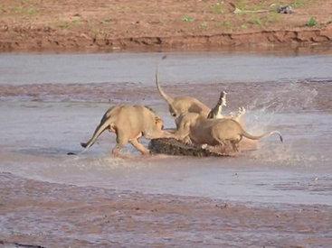 Львы против крокодила: битва титанов