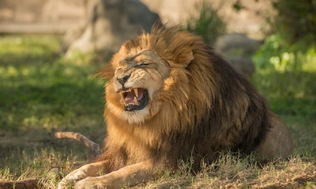 Я хищник: Львы (NatGeoWild)