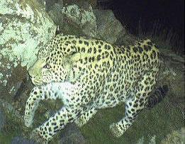 Кавказские леопарды попали в объективы видеокамер на юге Армении