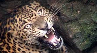 В Индии леопарда вытаскивали из колодца
