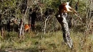 Охота леопарда. Прыжок на жертву (видео)