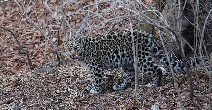 Приморцы могут пожертвовать леопардам он-лайн