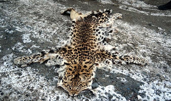 шкура дальневосточного леопарда