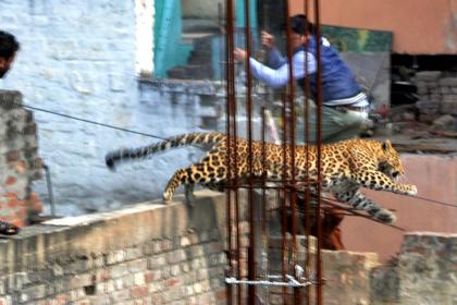 Леопард укусил человека за ягодицу