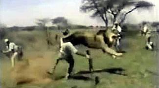 Реальное нападение льва на человека в дикой природе (любительская съемка)