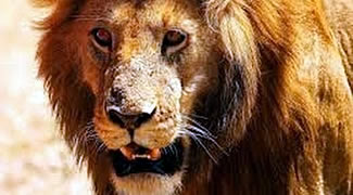 Львы Кении: Легендарные людоеды