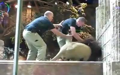 Львица спасла человека от льва