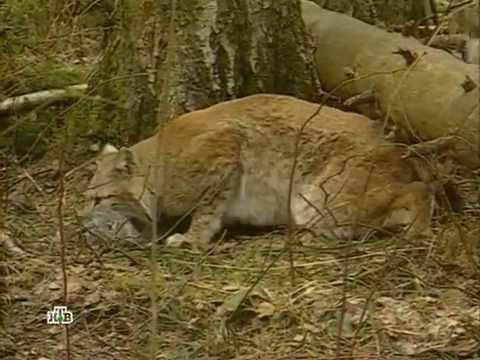 Рысь: Неуловимый охотник