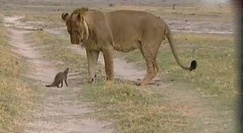 Мангуст против льва. Схватка крошечного зверька и огромного льва.
