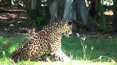 Неравный бой: мужчина против леопарда