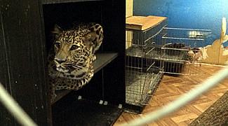 Москвич завел дикого леопарда в подвале многоквартирного дома