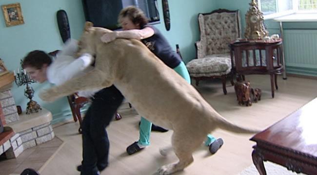 Домашний лев: инстинкты берут своё