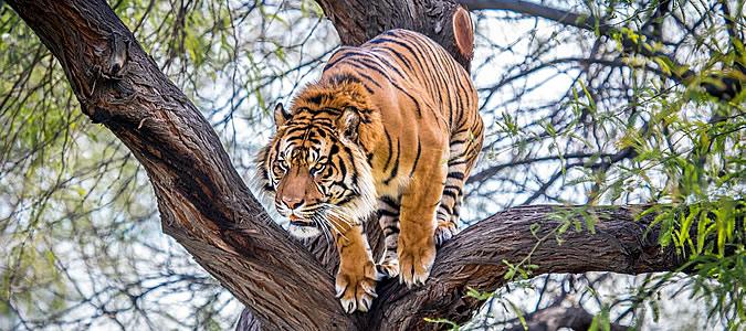 нападение тигра людоеда