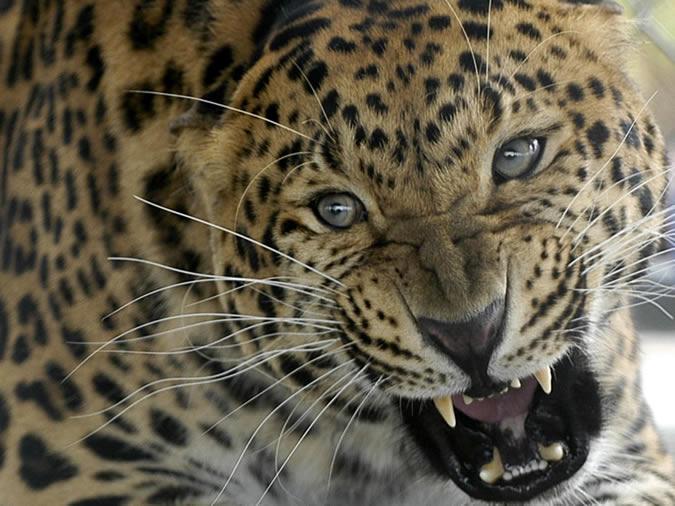 Индийские леопарды любят собак