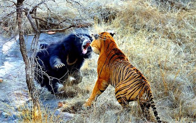 Звериные баталии: Тигр против медведя