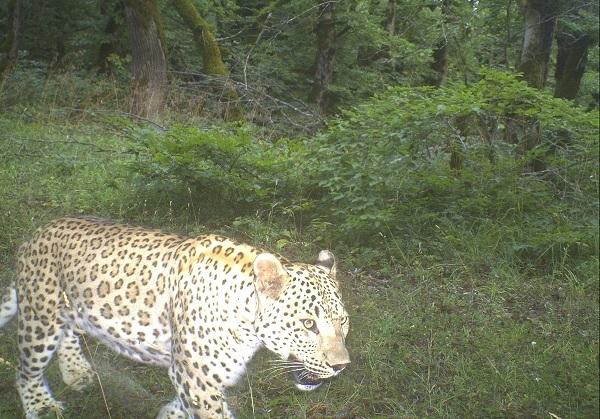 В Азербайджане разрабатывают национальный план и стратегию охраны леопардов