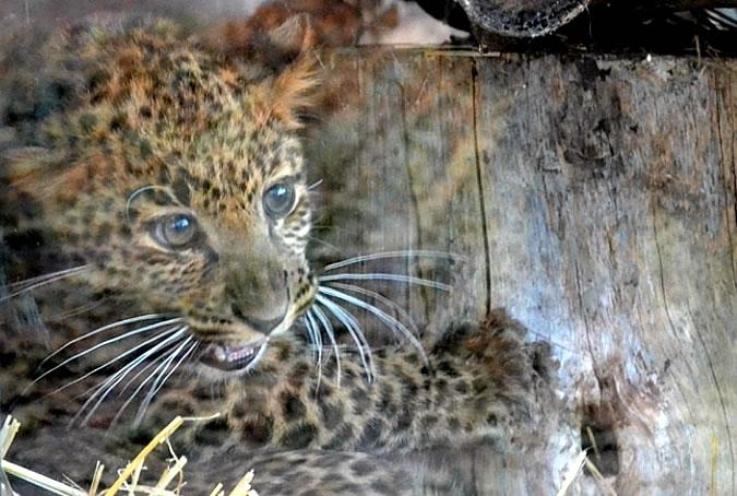 В Черкасском зоопарке появился дальневосточный леопард