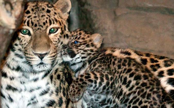 леопард сочинского питомника