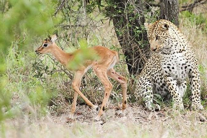 Невиданная дружба антилопы и леопарда