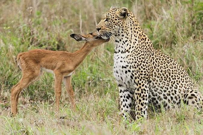 дружба антилопы и леопарда