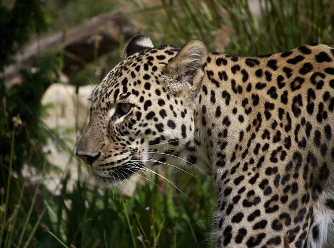 Минные поля спасают леопардов