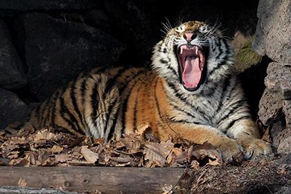 Тигр-убийца из Индии