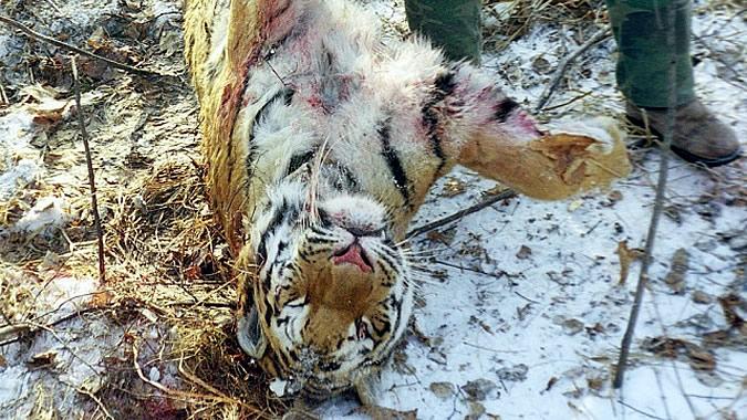 Сколько стоит тигр? – До 7 лет тюрьмы!