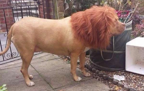 Странный лев