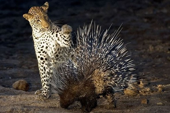 Схватка леопарда с дикобразом