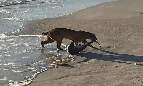 Невероятно: рысь словила акулу!