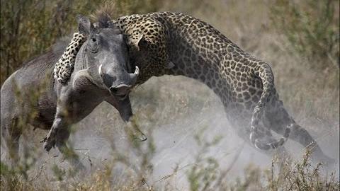 Леопард охотится на бородавочников