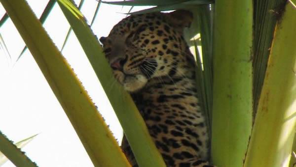 Фермер в Индии испугал леопарда