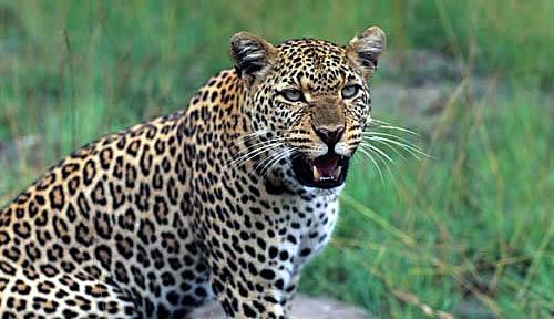 Леопард напал на гида в Парке Крюгер в ЮАР