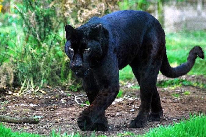 Пантера — это пятнистое животное
