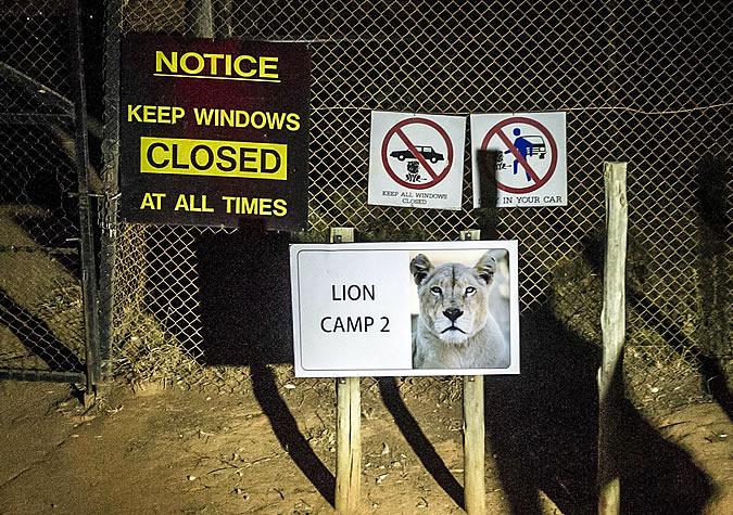 Лев убил американскую туристку в ЮАР