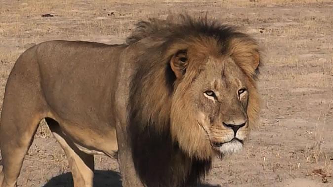 Лев убил гида в сафари-парке в Зимбабве