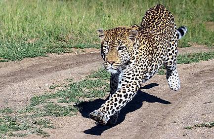 Мужчина убил леопарда голыми руками
