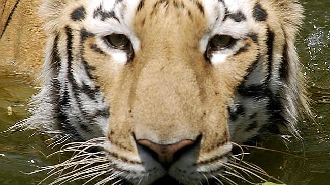 Тигр убил двух рыбаков за 4 дня