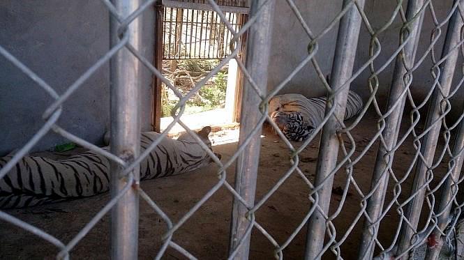 Тигр откусил руку женщине в зоопарке во Вьетнаме