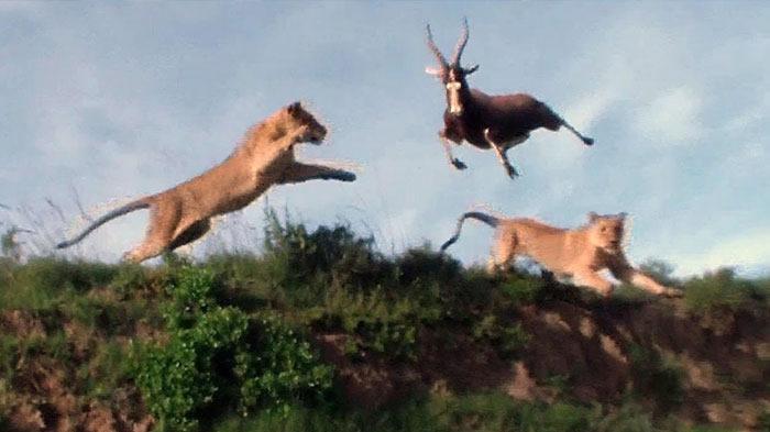 Лев атакует антилопу в прыжке