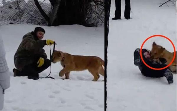 Во Владимире львенок напал на ребенка