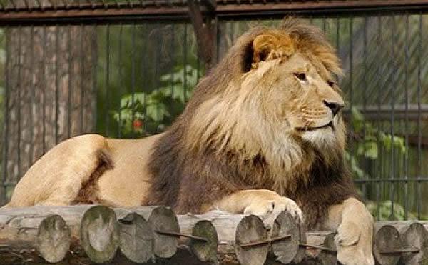 В зоопарке под Мариуполем лев напал на мужчину